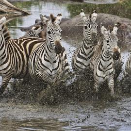running zebra by Anja Voorn - Animals Other ( migration, zebra )