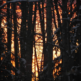 Fiery Trees by Tara  Smith - Landscapes Forests ( winter, sunset, trees, forest, yellow )