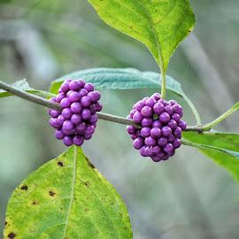 Plain Purple by Florent Alezi - Nature Up Close Other plants