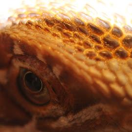 Edisons Eye by Terri Davies - Novices Only Macro ( reptiles, bearded dragon, close up, eye )