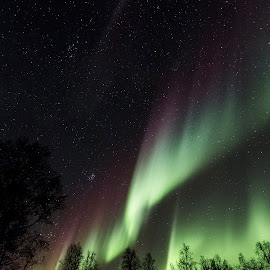 Aurora Borealis over Forest by Hans Woll - Landscapes Forests ( aurora borealis )