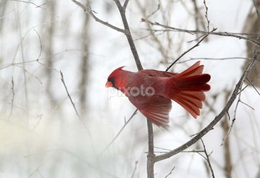 RED !! by Suann Vandewalker - Animals Birds ( , bird, fly, flight )