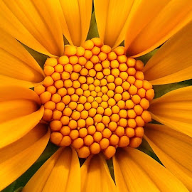 Orange. by Samuel Pangaribuan - Flowers Single Flower