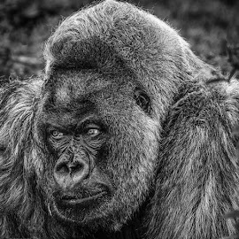 Silverback by Sue Niven - Animals Other Mammals ( black and white, silverback, endangered, gorilla, portrait )