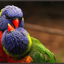 Cuddling by Romano Volker - Animals Birds