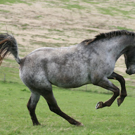 Wee Lass by Marty Paterson - Animals Horses ( scotland, roan, horse, appaloosa,  )