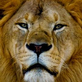 The Face. by Prashanth Nagabhushan - Animals Lions, Tigers & Big Cats ( cats, lion, big cats, prashanth nagabhushan, animal )