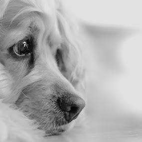 Pixel by Éric Senterre - Animals - Dogs Portraits ( b&w, pixel, spaniel, dog, nose, portrait, cocker, #GARYFONGPETS, #SHOWUSYOURPETS )