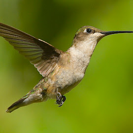 Swee-Pea by Roy Walter - Animals Birds ( flight, animals, wings, wildlife, feathers, birds, hummingbirds )