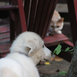 Leaf Sniff by Ellee Neilands - Animals - Dogs Puppies ( cat, great pyrenees, puppy, feline, dog, cute )