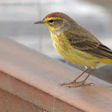 """Yellow"" Palm Warbler"
