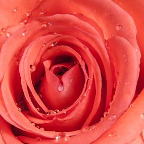 Rose in Pale Tone by Cristobal Garciaferro Rubio - Flowers Single Flower ( rose, petals, drop, drops, roses, flowers, flower, petal )