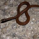 Florida Brown Snake