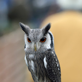 scops owl by Martyn Bennett - Animals Birds ( bird, scops, owl, feathers, cute, small )