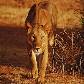 Eyes Into the Soul by Pamela Peters - Animals Lions, Tigers & Big Cats ( savannah, lion, cat, safari, kenya, africa, close up, mammal, eyes, , Africa, Safari )