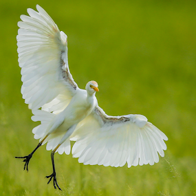 White Egret landing by Rian Van Schalkwyk - Animals Birds ( landing, white egret, water bird, egret,  )