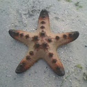 Giant sea star