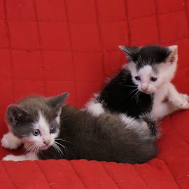 Double Trouble by Bridgette Rodriguez - Animals - Cats Kittens ( cats, animals, cat, kitten, kittens, animal )