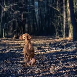 Bodza by Szepesvari Csaba - Animals - Dogs Portraits
