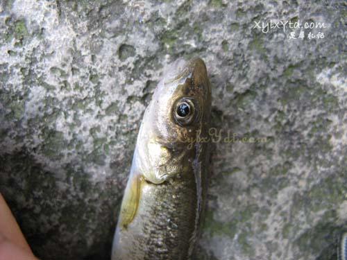 溪鱼,山沟沟