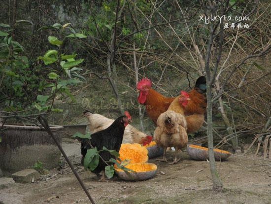 公鸡,母鸡