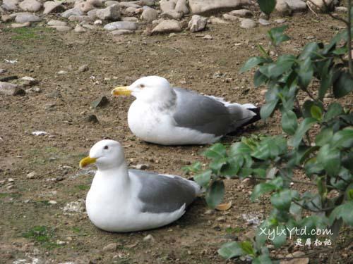 燕鸥,海鸥