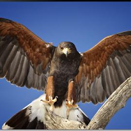 Clear for Landing by Stephan Guenot - Animals Birds ( landing, haawk, arizona, tucson, harris hawk, hawk )