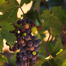 Soon I will be wine by Troy Snider - Nature Up Close Gardens & Produce ( wine, vineyard, grapes, grapevine, vine, harvest, winery )