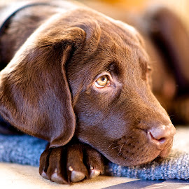 Born at the Shelter by Martha Pope - Animals - Dogs Portraits ( shelter, foster, rescue, adopt dog, puppy, lab, chocolate lab )