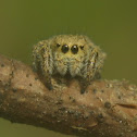 Jumping Spider, female