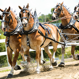 The Team by Nancy Merolle - Animals Horses ( draft horses, horses, wagon, pulling wagon, horse show, belgian horses, team pulling )