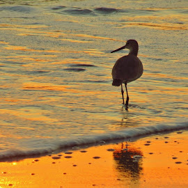 Sandpiper at sunrise by Tom Perkins Ewell - Novices Only Wildlife