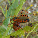 Assassin Bug & Ladybird