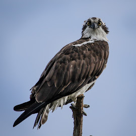 The Stare Down by Jared Lantzman - Animals Birds ( looking, bird, seahawk, stare, high, osprey,  )