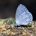Summer azure (female)