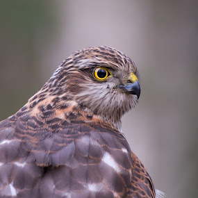 Eurasian Sparrowhawk  by Dalia Račkauskaitė - Animals Birds ( bird, accipiter nisus, eurasian sparrowhawk )