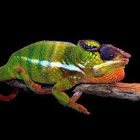 Chameleon by Ralph Harvey - Animals Reptiles ( reptiles, animals, wildlife, ralph harvey, chameleon, marwell zoo )