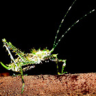 Spiny Rainforest Katydid