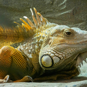 Iguana by Bevlea Ross - Animals Reptiles