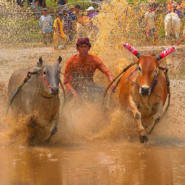 Pacu Jawi by We-er Photo's - Sports & Fitness Other Sports