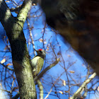 Grey Woodpecker - žluna šedá