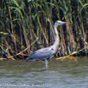 Grey Heron; Garza Real