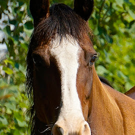 Elegant Horse by Barbara Brock - Animals Horses ( horse head shot, horse head, horse's face )