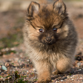 sandy nose  by Michael  M Sweeney - Animals - Dogs Puppies ( natural light, joy, play, michael sweeney, sandy, beach, cute, west coast scotland, photography, miniature, pomeranian hugo, epic, cute puppy, joyfull, pro, puppy, dog, nikon, pomeranian )