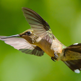 ? by Roy Walter - Animals Birds ( animals, wings, hummingbird, wildlife, feathers, birds )