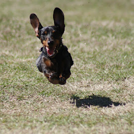 Running Full Out by Sharon Bull - Animals - Dogs Running