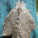 lobster moth