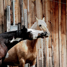 Love Nibbles  Two Paint Horses by Val Brackenridge - Animals Horses ( palomino, two hroses, horses, kissing horses, pinto, paints, palomino paint, western horses, equines, loving horses )