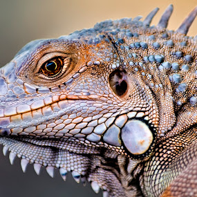 Iguana by Amril Nuryan - Animals Reptiles ( lizard, iguana, reptile, animal )