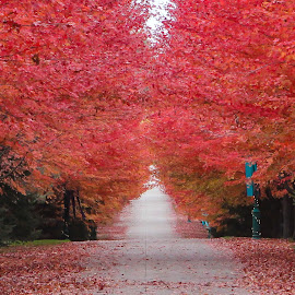Red Road by Edwin Montgomery - Landscapes Prairies, Meadows & Fields ( red, autumn, driveway, fall 2014, road )